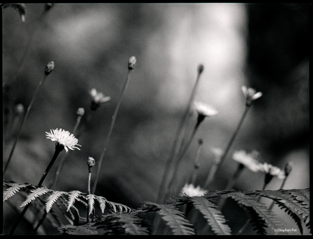 Flower (2015) Bronica ETRSi with 200mm and 24mm extension ring and loaded with Ilford HP5+